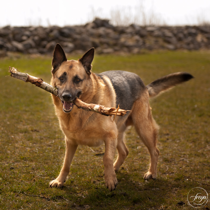 fotoshoot hond buiten met stok herdershond