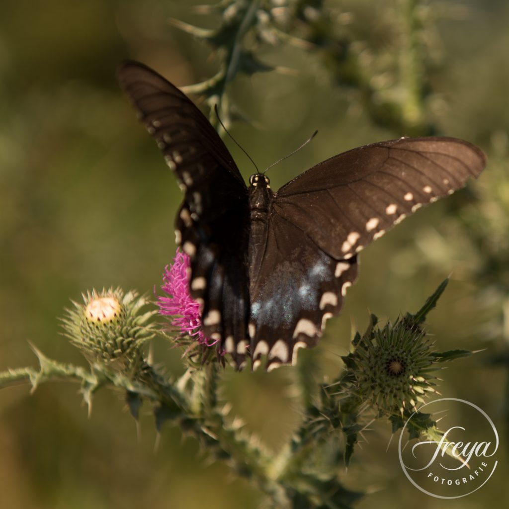 swallowtail butterfly page vlinder
