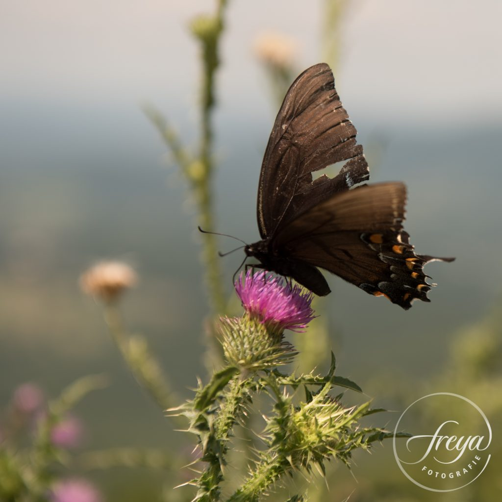 swallowtail butterfly page vlinder gehavend