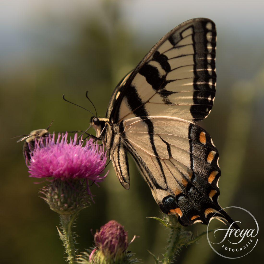 swallowtail butterfly page vlinder en bij