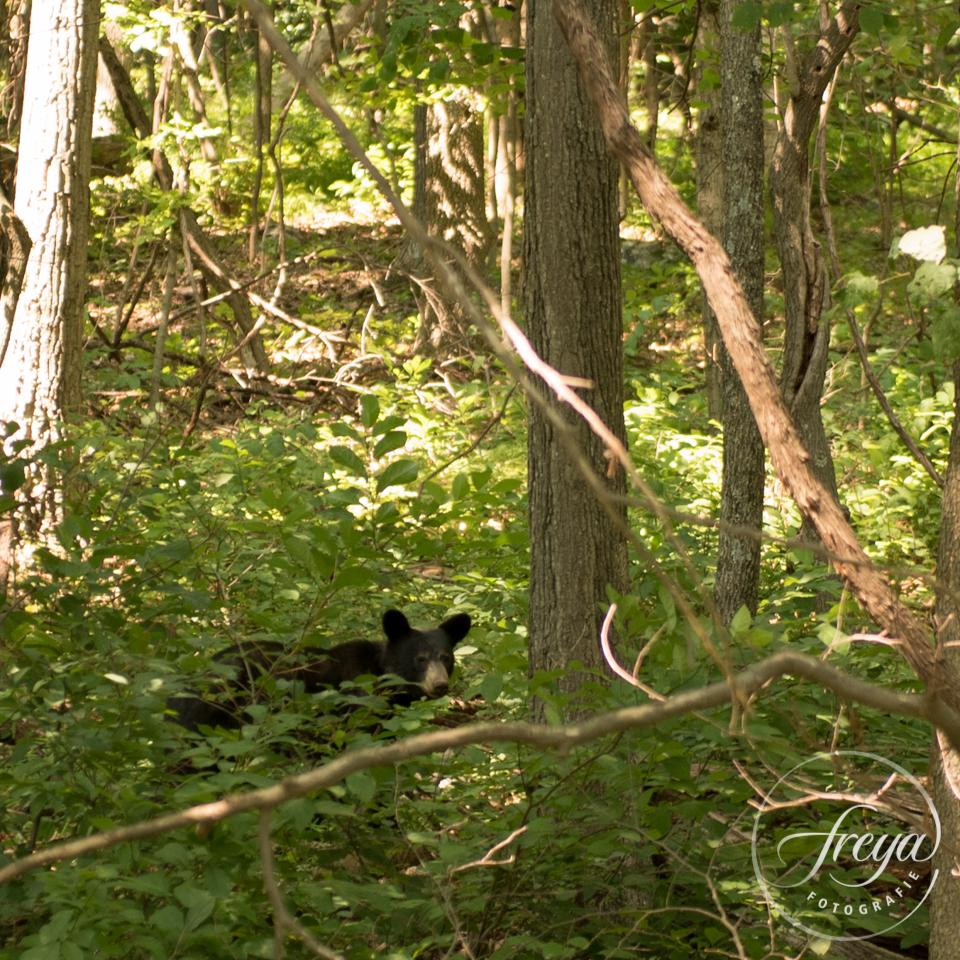 zwarte beer Virginia