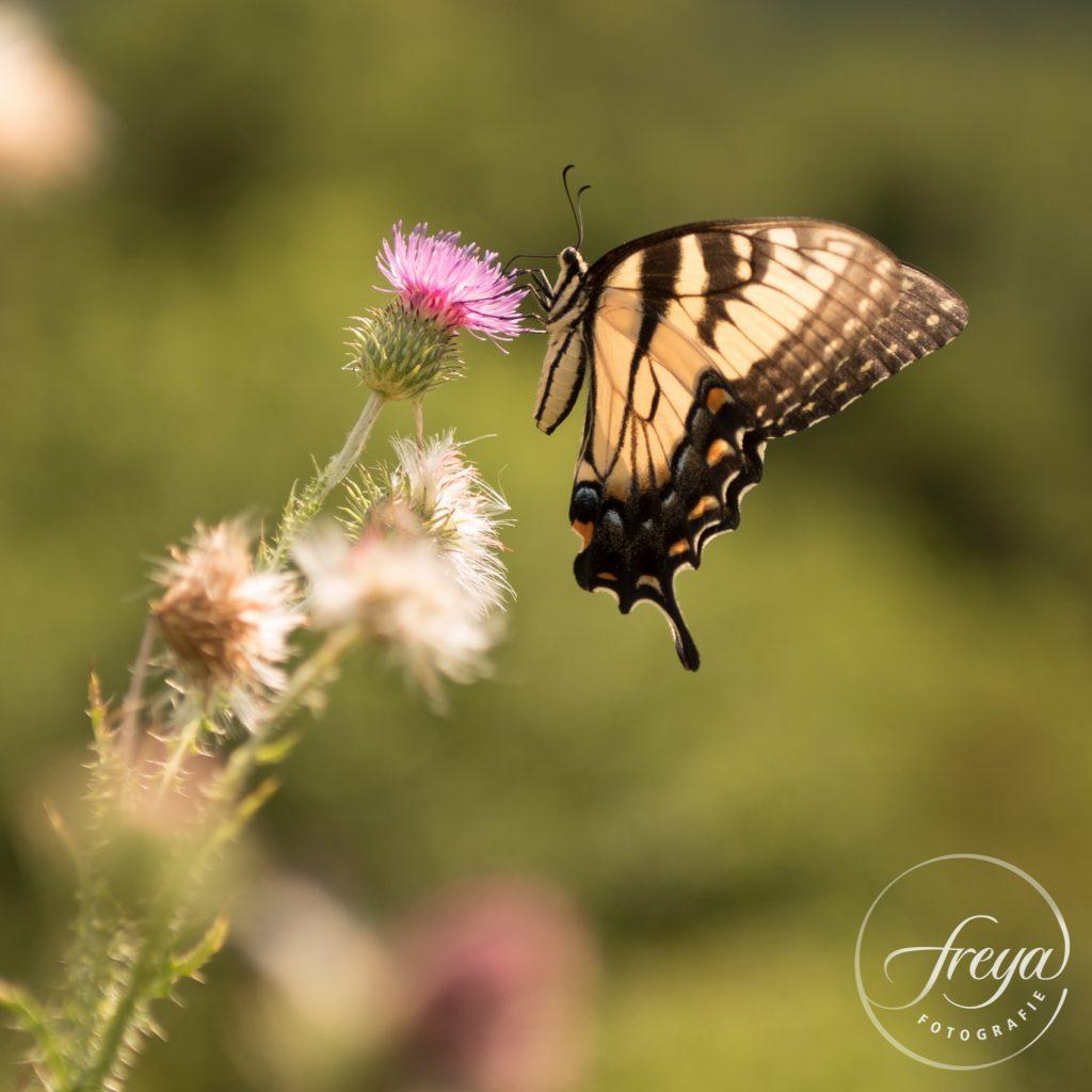 Natuurfotografie vlinder in de Verenigde Staten